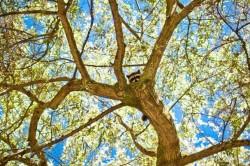 Procione su un albero immaginidivertenti.org