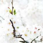 fiori-di-mandorla